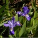 IrisPercent20cristataPercent20(2)[1].jpg